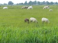 Weidetiere im Land