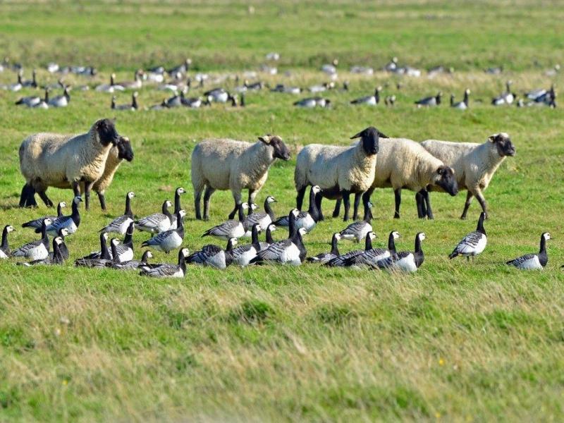 Schafe und Nonnengänse - Olversumer Vorland