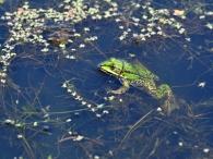 Grünfrosch im Oldensworter Vorland