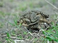 Erdkröte W trägt 2 M zum Laichplatz - Katinger Wald südliche Ringprielmündung