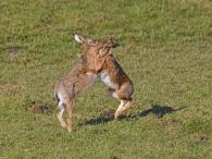 Paarungszeit bei den Hasen - nördlich des alten Eiderdeichs Katingsiel
