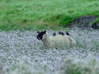 Schaf mit Staren als Begleiter - Grüne Insel Norderlochgraben