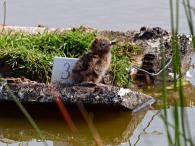 Küken Trauerseeschwalbe - Nelting Eiderstedt