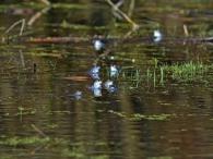 Moorfrösche - Amphibiengewässer am Bruchwald