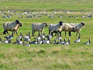 Schafe und Nonnengänse